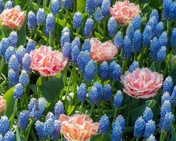 Tulipa / Muscari - Dutch Flower Fields