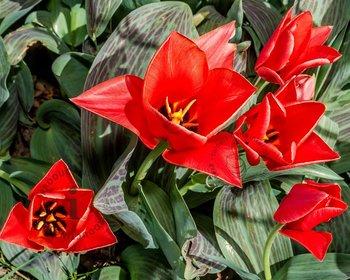 Tulipa greigii Rood