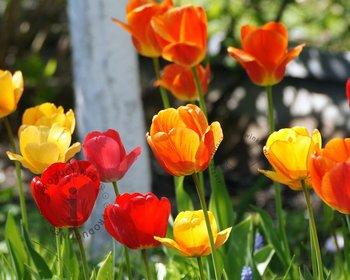 Tulipa Darwin hybride Mix