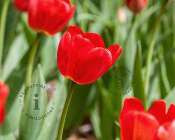 Tulipa Darwin hybride Rood