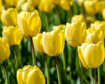 Tulipa Darwin hybride Geel