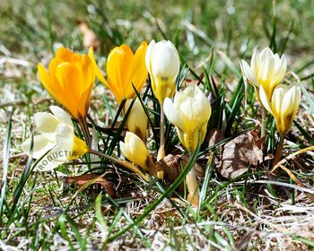 Crocus Mix Geel-Wit
