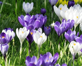 Crocus Mix Blauw-Wit