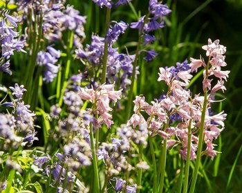 Hyacinthoides hispanica Mix