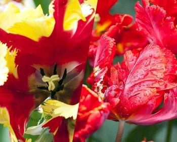 Tulipa Birds of Paradise