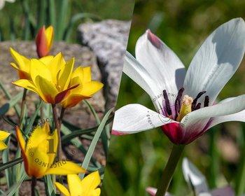 Tulipa Belles Tulipes