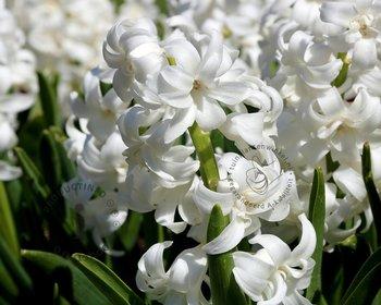 Hyacinthus Wit