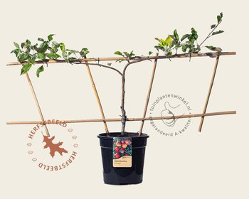Malus domestica 'Elstar' - Step-over two-way