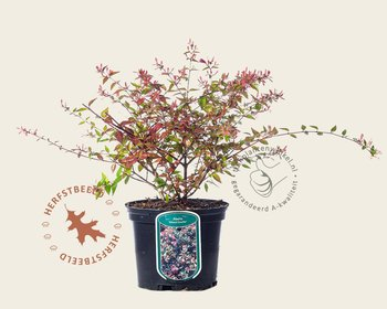 Abelia grandiflora 'Edward Goucher'