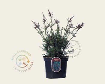 Podocarpus lawrencii 'Red Tip'