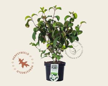 Viburnum plicatum 'Newport'