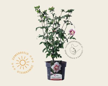 Hibiscus syriacus 'Starburst Chiffon'