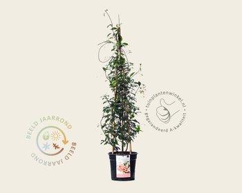 Trachelospermum jasminoides 'Star of Sicily'