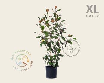 Magnolia grandiflora - XL