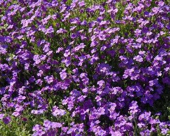 Aubrieta 'Cascade Blue'