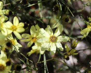 Coreopsis verticillata 'Moonbeam'