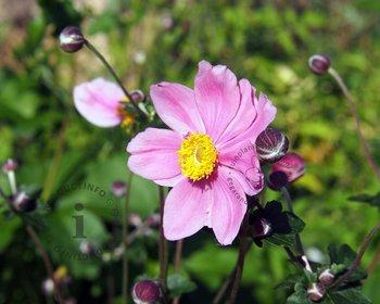 Anemone hybrida 'Königin Charlotte'