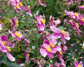 Anemone hybrida 'Hadspen abundance'