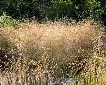 Deschampsia cespitosa 'Goldtau'