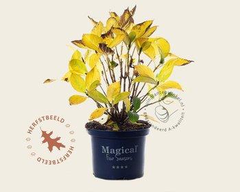 Hydrangea macrophylla 'Magical Amethyst' - blauw
