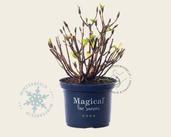 Hydrangea macrophylla 'Magical Amethyst' - roze
