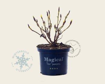 Hydrangea macrophylla 'Magical Revolution' - blauw