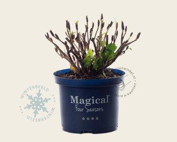 Hydrangea macrophylla 'Magical Revolution' - roze