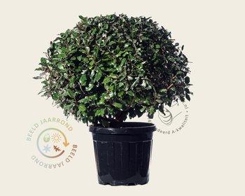 Elaeagnus ebbingei - bolvorm