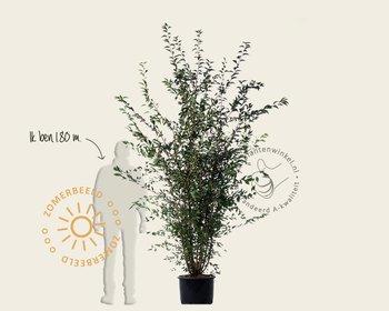 Prunus 'Spire' - meerstammig