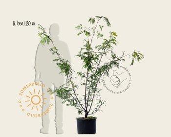 Gleditsia triacanthos 'Sunburst' - meerstammig