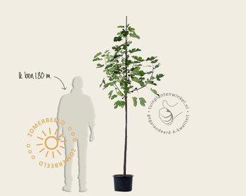 Ficus carica 'Bornholms Diamant' - hoogstam