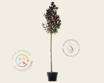 Magnolia grandiflora - hoogstam