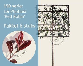 Lei-Photinia - 150 - pakket 6 stuks + EXTRAS!