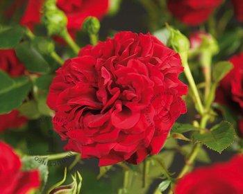 Rosa 'Grand Award'