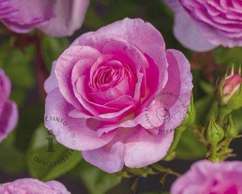 Rosa 'Ozeana'