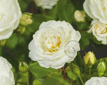 Rosa 'Perfume Dreams'