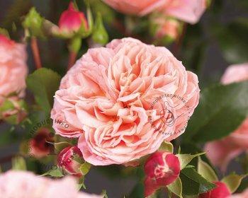 Rosa 'Pirouette'