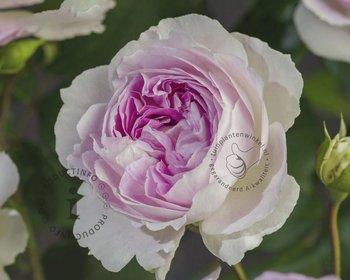 Rosa 'Saphir'