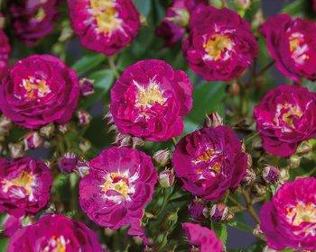 Rosa rambler 'Perennial Blue'