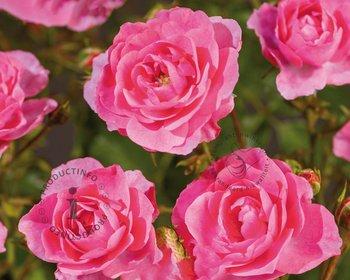 Rosa 'Mirato'