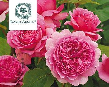 Rosa 'Princess Alexandra of Kent'