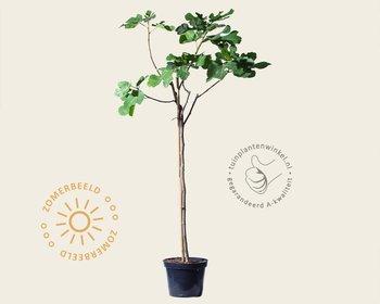 Ficus carica - halfstam