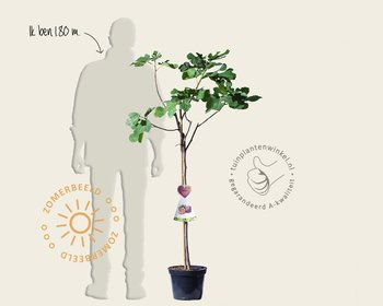 Ficus carica 'Napolitana' - halfstam