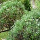 Vormsnoei coniferen