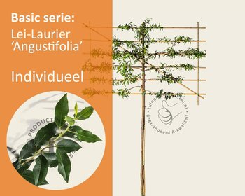 Lei-Laurier l. 'Angustifolia' - Basic - individueel geen extra's