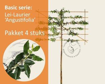 Lei-Laurier l. 'Angustifolia' - Basic - pakket 4 stuks