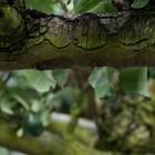 Oude fruitbomen