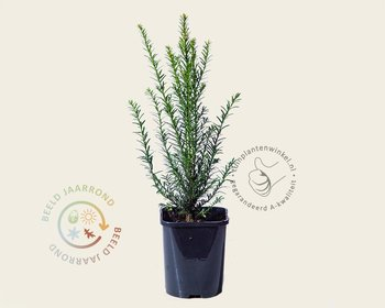 Taxus baccata - in pot