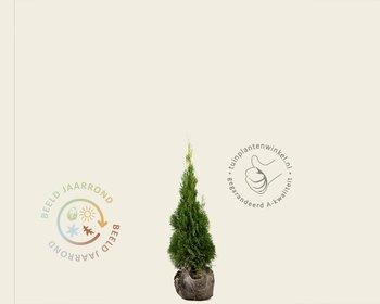 Thuja occidentalis 'Smaragd' - kluit