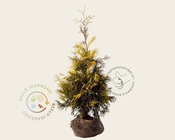 Thuja occidentalis 'Yellow Ribbon' - kluit